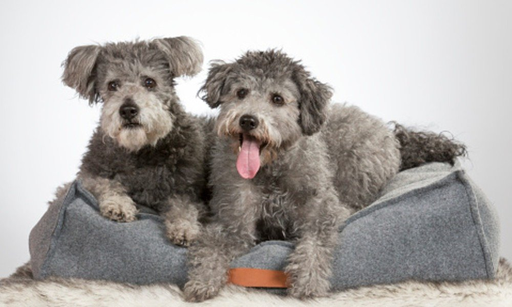 pumi dogs on a sofa