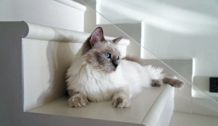 What is the Best Food for Ragdoll cats?