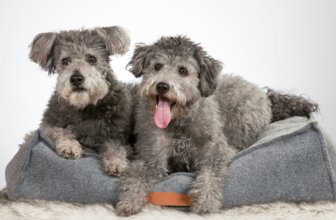 Pumi Dogs: 3 Reasons Why They Might Be Your New Favorite Breed